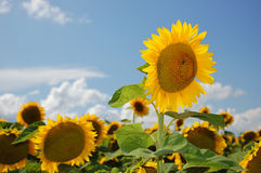 Sunflowers field. Field of flowerings sunflowers by a bright sun day Royalty Free Stock Photo