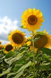 Sunflowers field. Field of flowerings sunflowers by a bright sun day stock images