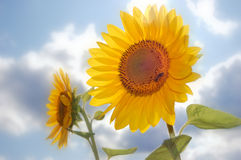 Sunflowers field. Field of flowerings sunflowers by a bright sun day Royalty Free Stock Photos