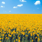 Sunflowers field. Royalty Free Stock Photography