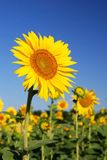 Sunflowers at the field. In summer stock image