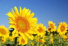 Sunflowers in the field. In summer royalty free stock photos