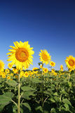 Sunflowers at the field. In summer royalty free stock photo