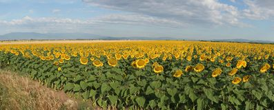 Sunflowers field Stock Image