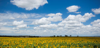 Sunflowers field. A massive field of Sunflowers Stock Photo