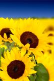 Sunflowers in a field Royalty Free Stock Image