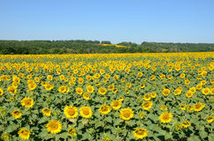Sunflowers on the field Stock Images