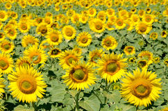 Sunflowers on the field Royalty Free Stock Photo