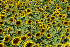 Sunflowers field Royalty Free Stock Photography
