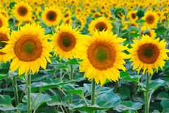 Free Sunflowers Field Stock Image - 25824351