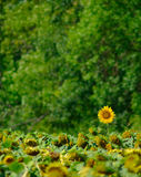 Sunflowers on the field Royalty Free Stock Images