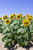 Sunflowers on the field. Sunflower on the field, sunny blue summer sky Royalty Free Stock Image