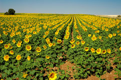 Sunflowers field. A large sunflowers fiel in Spain Royalty Free Stock Image