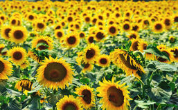 Sunflowers field. The field full of sun and flowers in the middle of the summer Stock Image