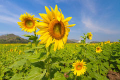 Sunflowers field. Beautiful sunflowers field in Thailand Royalty Free Stock Photography