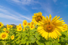 Sunflowers field. Beautiful sunflowers field in Thailand Stock Photos