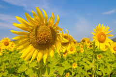 Sunflowers field. Beautiful sunflowers field in Thailand Royalty Free Stock Photo