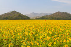 Sunflowers field. Beautiful sunflowers field in Thailand Stock Images
