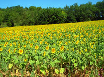 Sunflowers field Royalty Free Stock Photos
