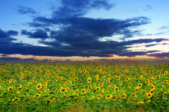 Sunflowers in field Royalty Free Stock Photography