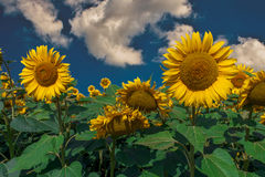 Sunflowers. In the field Royalty Free Stock Photo