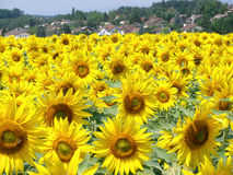 Sunflowers field. With a village in the background royalty free stock images