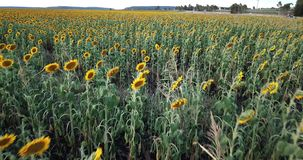Sunflowers in a field in the afternoon. Sunflowers amongst a field in the afternoon in Nobby, Toowoomba Region, Queensland stock video footage
