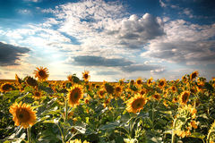 Sunflowers. Field of sunflowers against the blue sky and clouds Royalty Free Stock Image