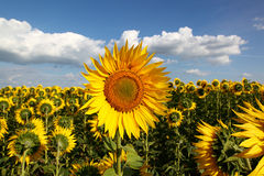 Sunflowers in the field against the blue sky with clouds Royalty Free Stock Photos