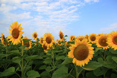 Sunflowers in the field against the blue sky. Stock Photos