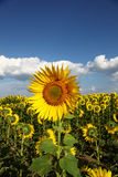 Sunflowers in the field against the blue sky. Royalty Free Stock Photos