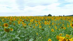 Sunflowers on the field against a cloudy sky.Original high quality video without any processing stock video footage