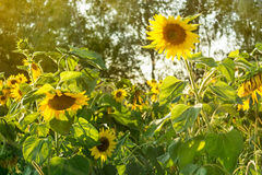 Sunflowers in field, agriculture and gardening. Sunflowers in the field, agriculture and gardening Stock Image