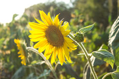 Sunflowers in field, agriculture and gardening. Sunflowers in the field, agriculture and gardening Stock Photos