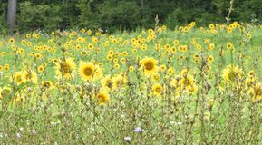 Sunflowers in field Royalty Free Stock Image
