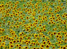 Sunflowers field background Royalty Free Stock Photos
