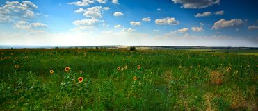Sunflowers field. Background summer sky Royalty Free Stock Photos
