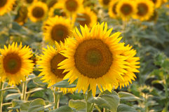 Sunflowers field. Field backlit sunflowers in tuscany Italy Royalty Free Stock Image