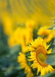 Sunflowers in the field Stock Photography