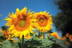 Sunflowers field Stock Photos