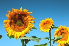 Sunflowers field Stock Image