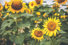 Sunflowers field. Beautiful sunflowers, in the field, daylight Royalty Free Stock Image