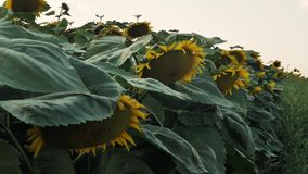 Sunflowers in the Field. Beautiful fields with sunflowers in the summer. Bright sunflower background. Steadicam slow motion video stock footage
