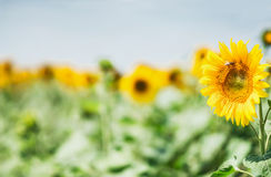 Sunflowers field at beautiful sky background, summer outdoor nature background Stock Photo