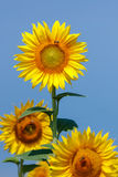 Sunflowers in the field with a bee Stock Images