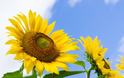 Sunflowers in the field with bees on it Stock Images
