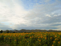 Sunflowers field with a big mountain. Sunflowers field with a big mountain Royalty Free Stock Photo
