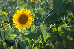 Sunflowers in the field. Field of blooming sunflowers on a background sunset Royalty Free Stock Photography