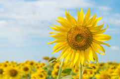 Sunflowers. Field of blooming sunflowers in Thailand Royalty Free Stock Photos