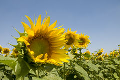 Sunflowers field and blue sky Royalty Free Stock Photos